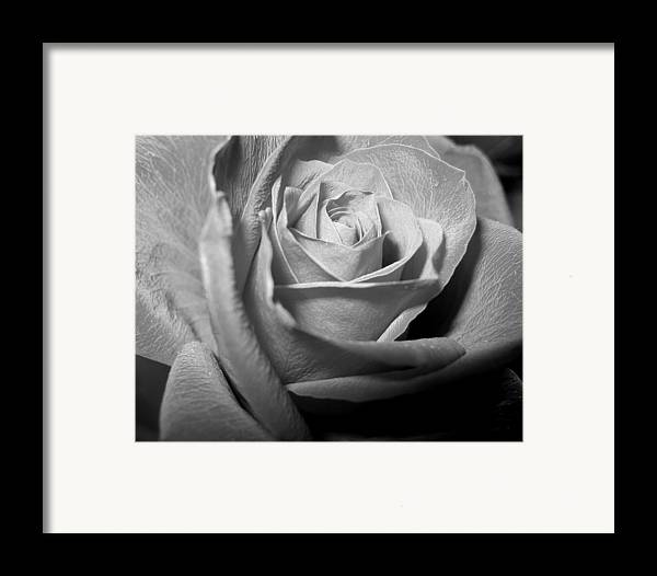 Rose Framed Print featuring the photograph Rose by Lindsey Orlando