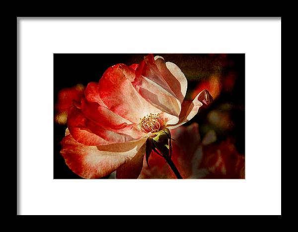 Lisa Knechtel Framed Print featuring the photograph Rose by Lisa Knechtel