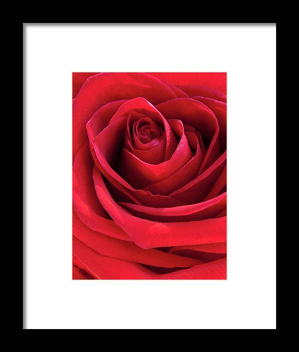 Beautiful Framed Print featuring the photograph Rose Macro by Jim DeLillo