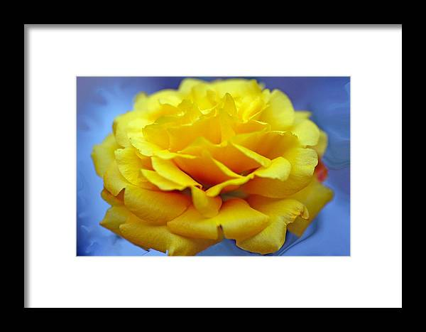 Rose Framed Print featuring the photograph Rose Moss Flower by Jim Darnall