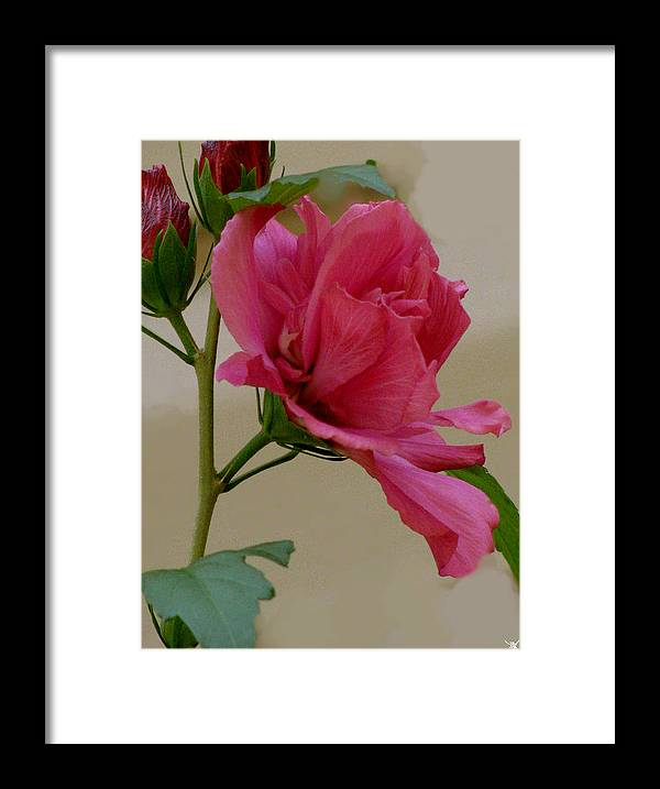 Rose Of Sharon Framed Print featuring the photograph Rose Of Sharon by Debra   Vatalaro