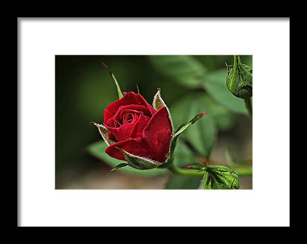 Rose Framed Print featuring the photograph Rose Portrait by Dawn Van Doorn