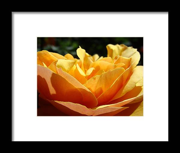 Rose Framed Print featuring the photograph Rose Sunlit Orange Rose Garden 7 Rose Giclee Art Prints Baslee Troutman by Baslee Troutman