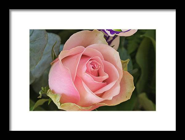Flower Framed Print featuring the photograph Rose by Theo Tan