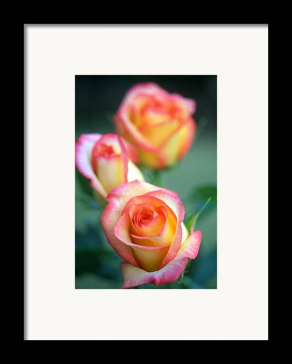 Florals Framed Print featuring the photograph Rose Trio by Kathy Yates