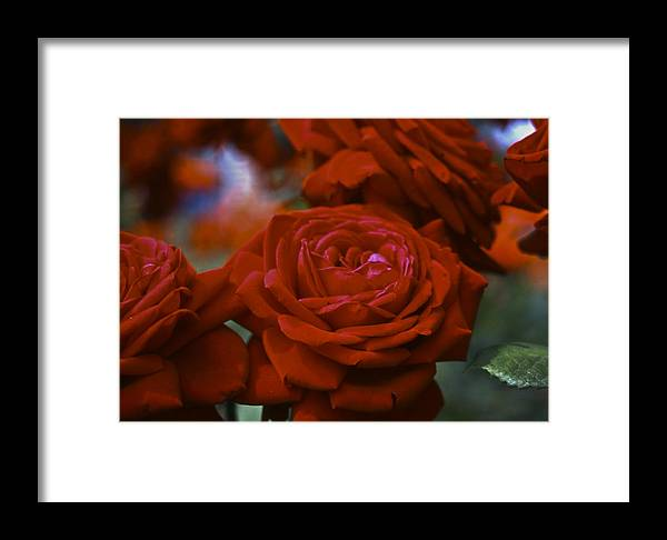 Roses Framed Print featuring the photograph Rose by Wes Shinn