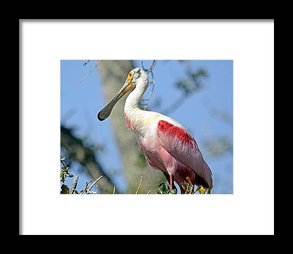 Wildlife Framed Print featuring the photograph Roseate Spoonbill by Kenneth Albin