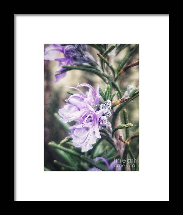 Rosemary Framed Print featuring the photograph Rosemary Blooming by Rachel Hannah