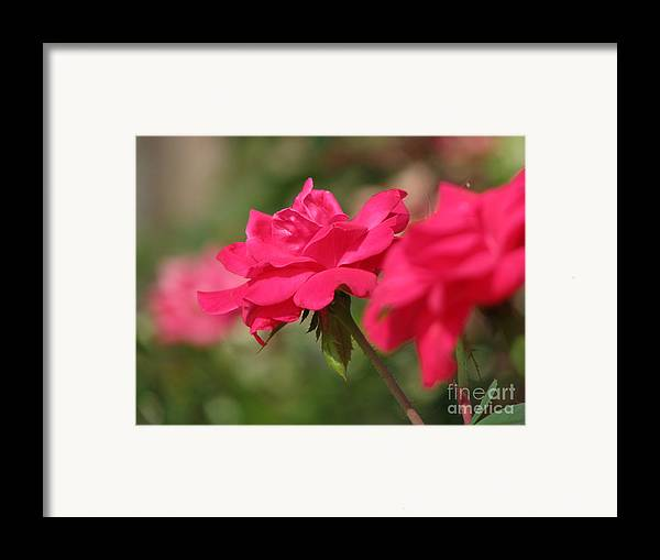 Rose Framed Print featuring the photograph Roses by Amanda Barcon