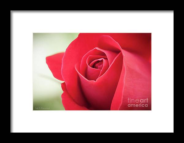 Bloom Framed Print featuring the photograph Roses Are Red by Todd Blanchard