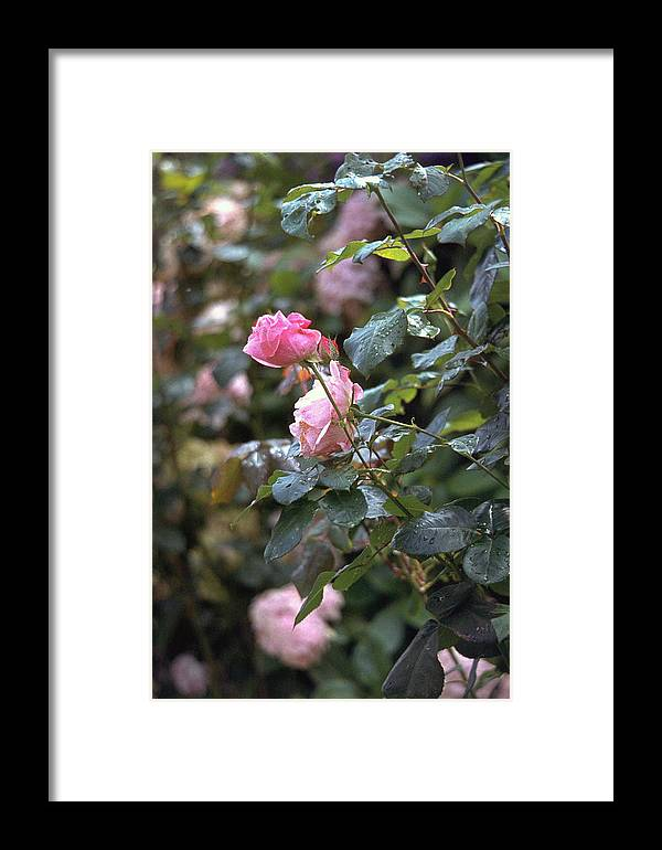 Roses Framed Print featuring the photograph Roses by Flavia Westerwelle