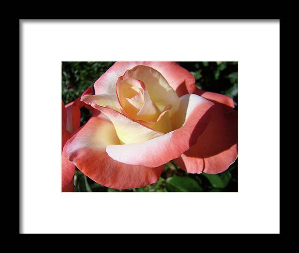 Rose Framed Print featuring the photograph Roses Pink Creamy White Rose Garden 5 Fine Art Prints Baslee Troutman by Baslee Troutman