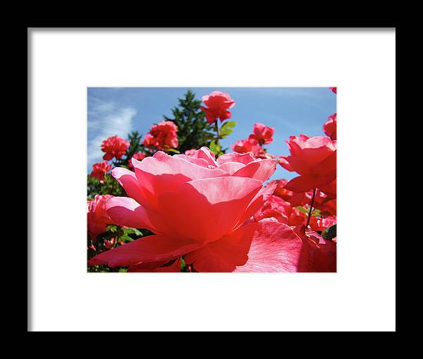Rose Framed Print featuring the photograph Roses Pink Rose Landscape Summer Blue Sky Art Prints Baslee Troutman by Baslee Troutman