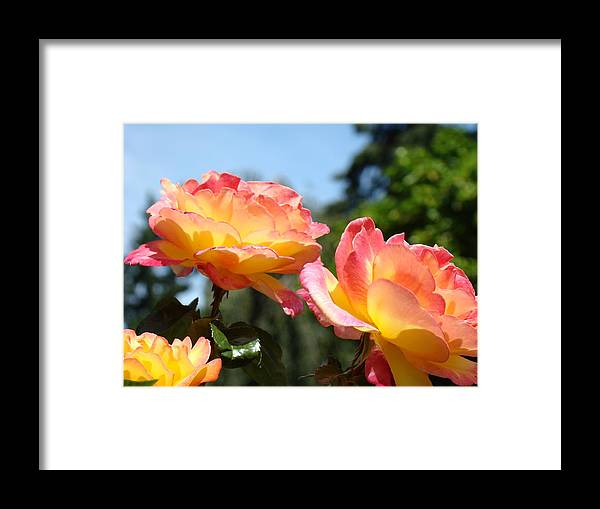 Rose Framed Print featuring the photograph Roses Yellow Roses Pink Summer Roses 4 Blue Sky Landscape Baslee Troutman by Baslee Troutman
