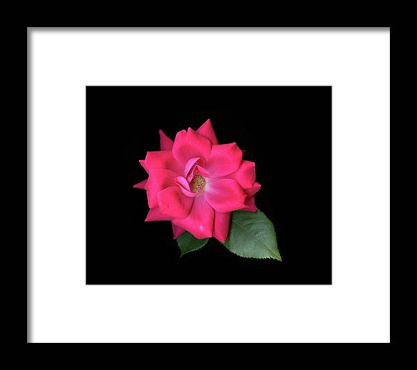 Rose Framed Print featuring the photograph Rosie Posie by Vita Mancusi