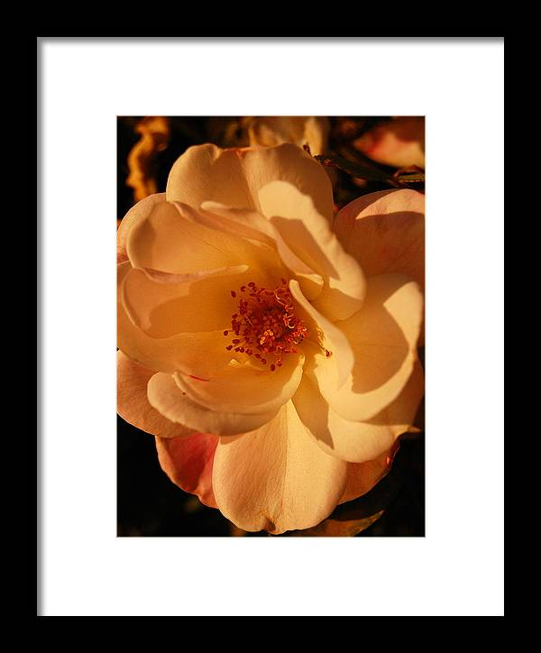 Rose Framed Print featuring the photograph Rosy Afternoon 1 by Jean Booth