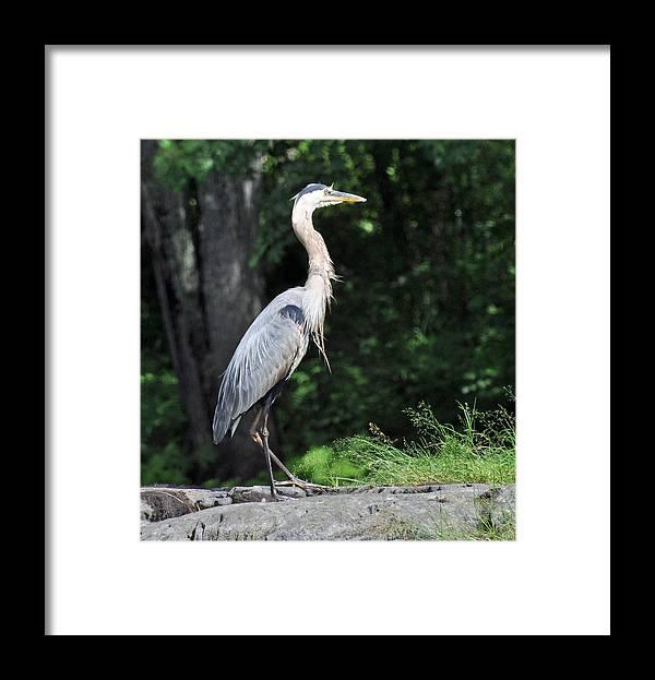 Bird Framed Print featuring the photograph Great Blue Heron by Glenn Gordon