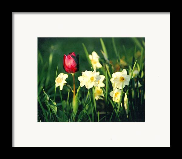 Tulips Framed Print featuring the photograph Royal Spring by Steve Karol