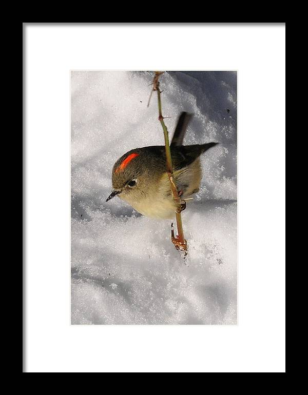 Photography Framed Print featuring the photograph Ruby-crowned Kinglet by Joel Brady-Power