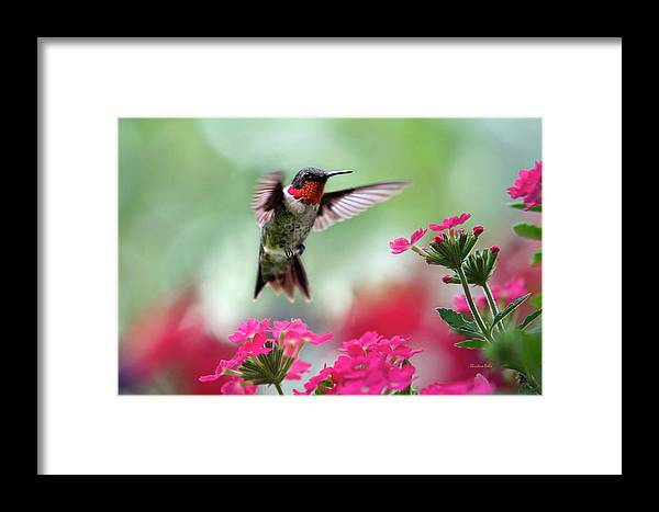 Hummingbird Framed Print featuring the photograph Ruby Garden Jewel by Christina Rollo