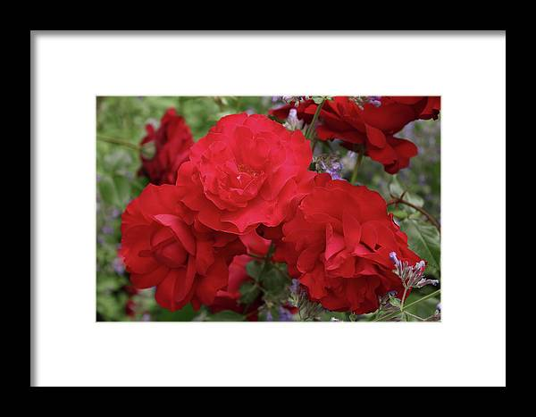 Red Framed Print featuring the photograph Ruby Red by Nadia Asfar