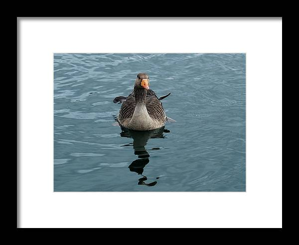 Goose Framed Print featuring the photograph Ruffled Feathers by Marilynne Bull