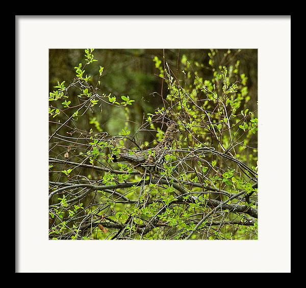 Framed Print featuring the photograph Ruffled Grouse by JK Photography
