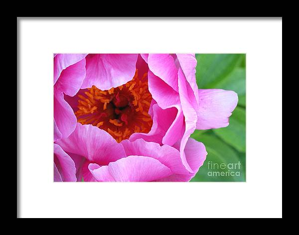 Peony Framed Print featuring the photograph Ruffles by Valerie Fuqua