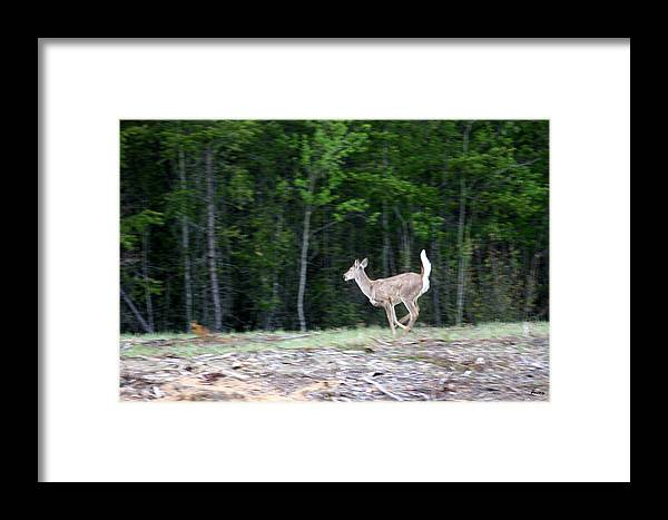 Deer Whitetail Doe Running Wild Nature Framed Print featuring the photograph Running Deer by Andrea Lawrence