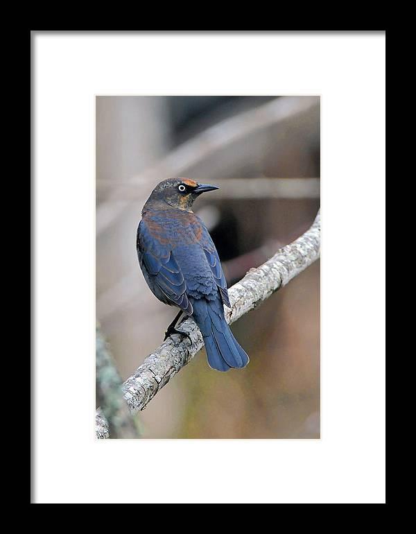 Blackbird Framed Print featuring the photograph Rusty Blackbird by Alan Lenk