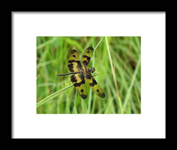 Dragonfly Framed Print featuring the photograph Ryothemis Dragonfly by Bob Kemp