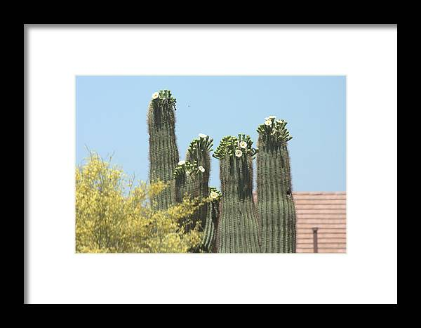 Saguaro Framed Print featuring the photograph Saguaro Sisters by Marilyn Barton