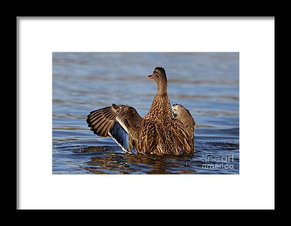 Mallard Framed Print featuring the photograph Salute by Sue Harper