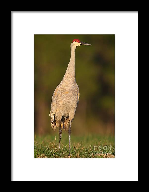 Bird Framed Print featuring the photograph Sandhill Crane 2 by Rick Mann