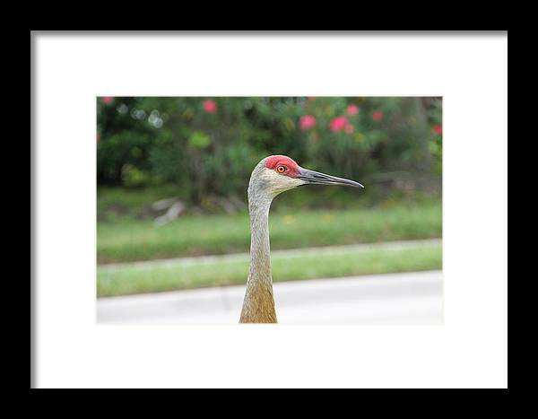 Green Framed Print featuring the photograph Sandhill Crane In Sarasota by Laura Martin