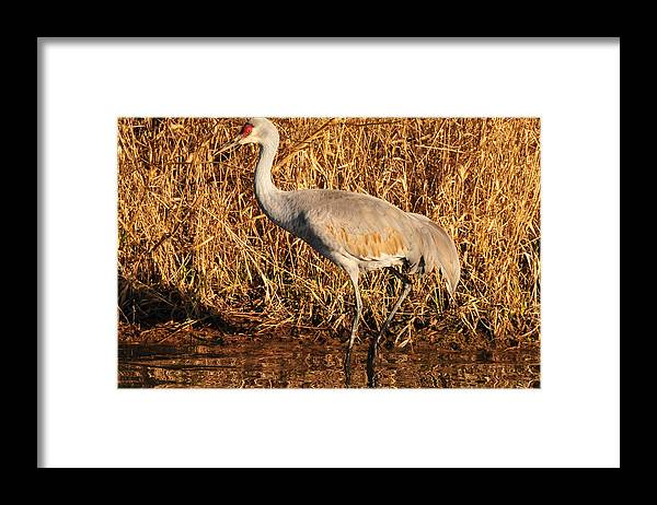 Photography Framed Print featuring the photograph Sandhill Crane by Joel Brady-Power