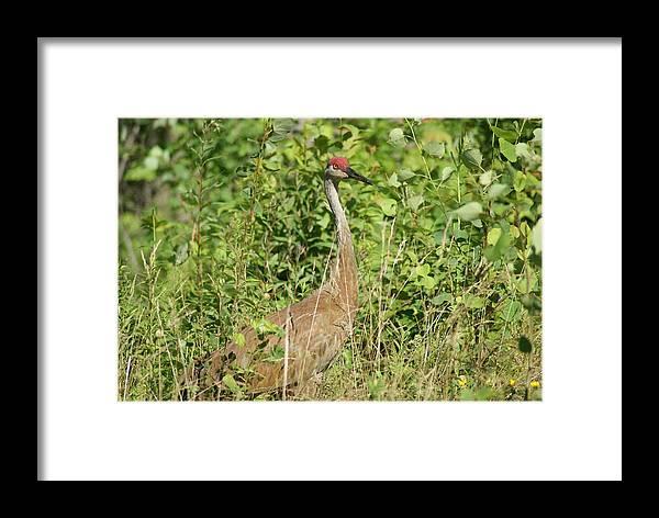 Sandhill Crane Framed Print featuring the photograph Sandhill Crane by Ron Read