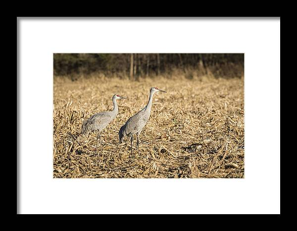 Sandhill Cranes Framed Print featuring the photograph Sandhill Cranes 2015-2 by Thomas Young