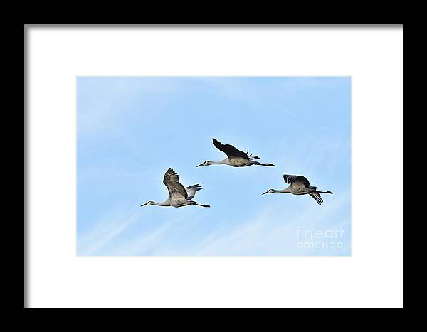 Photography Framed Print featuring the photograph Sandhills In Flight by Larry Ricker