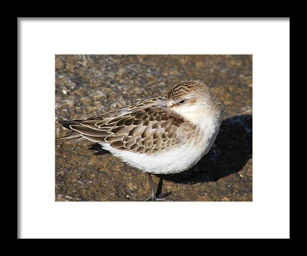 Sandpiper Framed Print featuring the photograph Sandpiper by Doug Mills