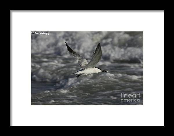 Sandwhich Tern Framed Print featuring the photograph Sandwhich Tern Flies Over Stormy Waves by Barbara Bowen
