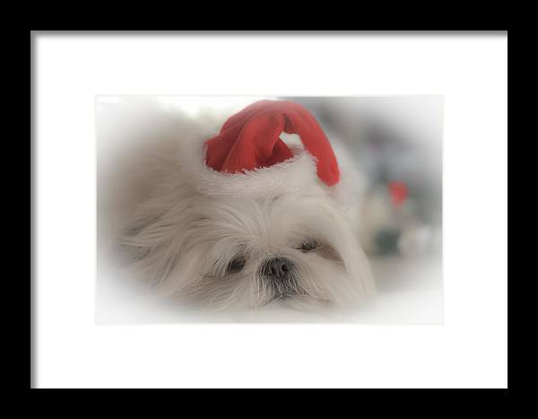 Shih Tzu Framed Print featuring the photograph Santa's Sweetie by Joy McAdams