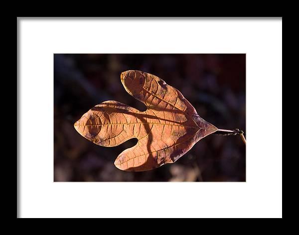 Sassafras Framed Print featuring the photograph Sassafras Leaf In Evening Sun by Douglas Barnett