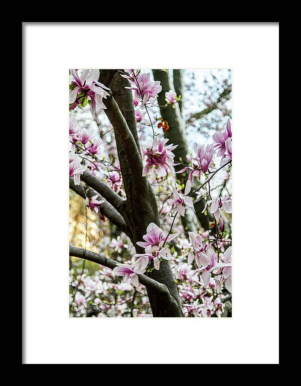 Nyc Framed Print featuring the photograph Saucer Magnolias In Central Park by Robert J Caputo
