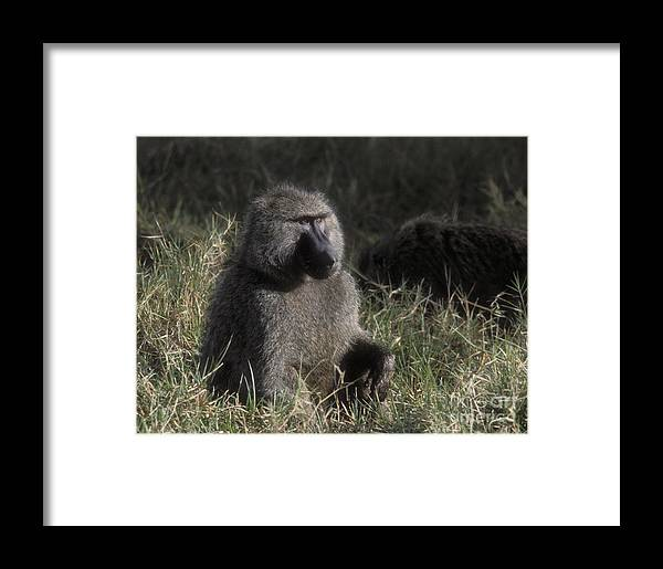 Baboon Framed Print featuring the photograph Savannah Olive Baboon by Sandra Bronstein