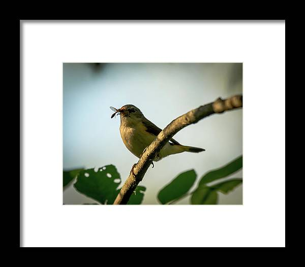 American Redstart Bird Warbler Nature Wildlife Insect Framed Print featuring the photograph Savor The Moment by Phillip Beyser
