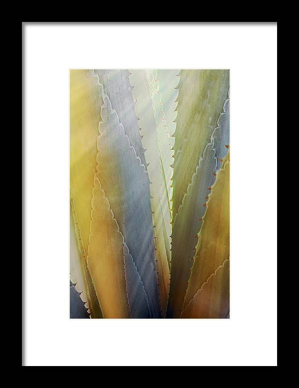 Nature Framed Print featuring the photograph Sawtooth Agave Gold Light by Zayne Diamond Photographic
