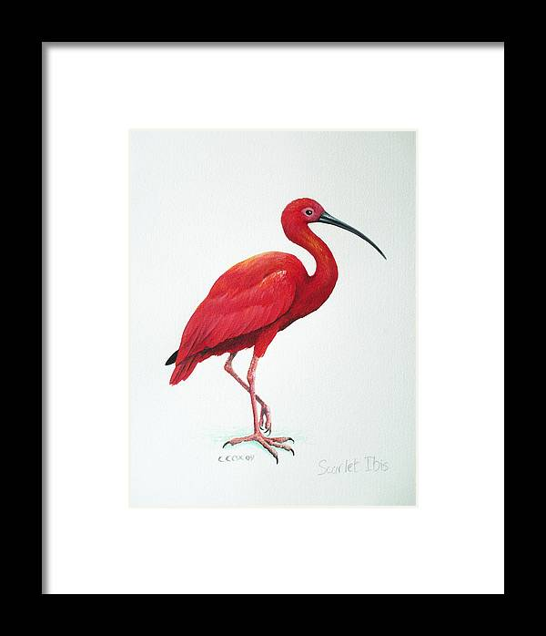 Scarlet Ibis Framed Print featuring the painting Scarlet Ibis by Christopher Cox