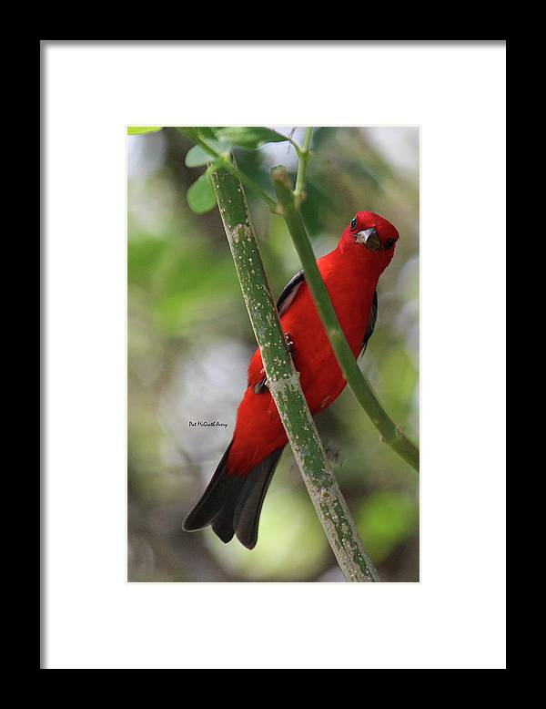 Birds Framed Print featuring the photograph Scarlet Tanager by Pat McGrath Avery