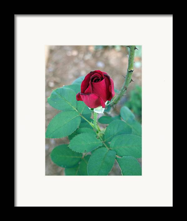 Red Framed Print featuring the photograph Scarlett's Rose by Keri Renee